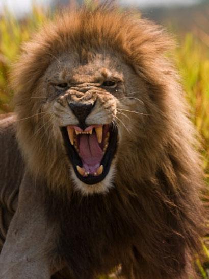 lion of judah1